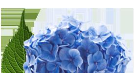 flower_hydrangea