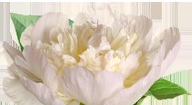 flower_peony